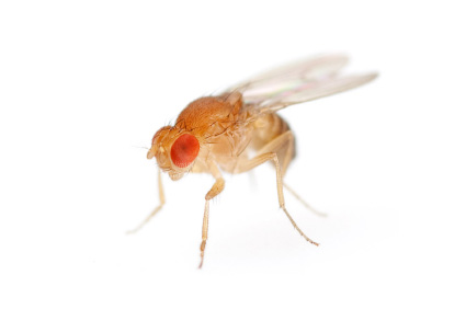 Stock photo of a fruit fly