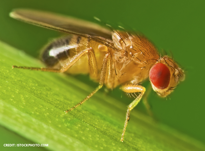 Stock photo of a female fruit fly on a leaf