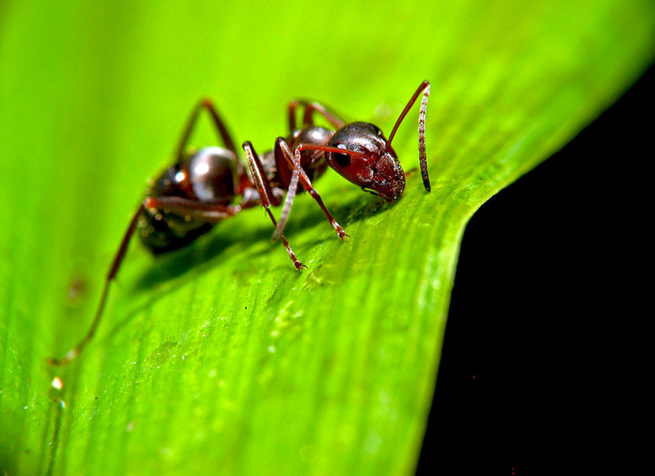 Stock photograph of an ant clinging to vegetation